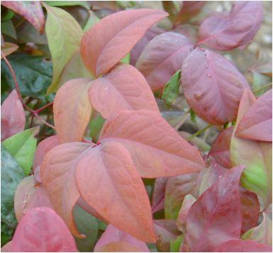 お多福南天の紅葉