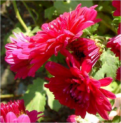 深紅の小菊(コギク)
