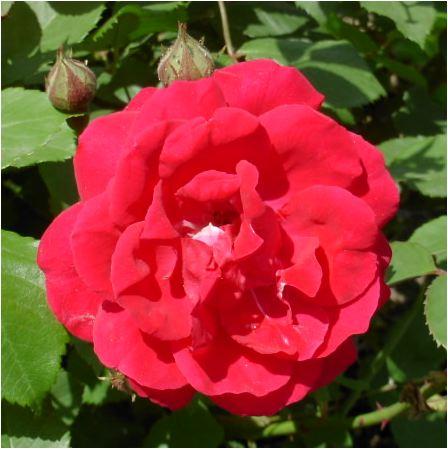 薔薇(京美人)