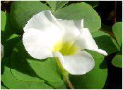 オキザリス(白)