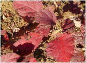 紫陽花の紅葉
