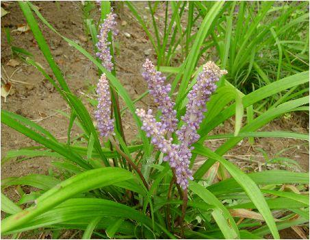 薮蘭の実(ヤブランノミ)の花