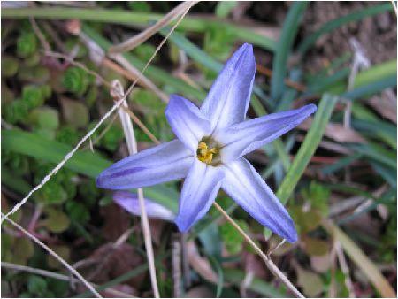 花韮(紫)ハナニラ(ムラサキ)