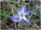 花韮(紫)ハナニラ