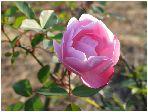 薔薇(ピンク)バラ