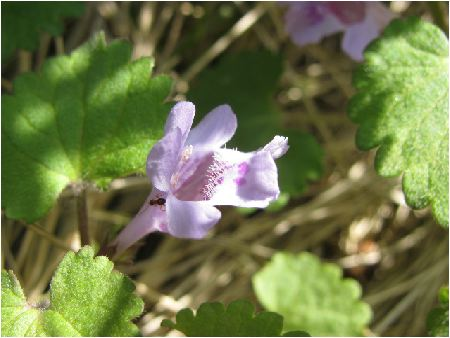 グレコーマ(glechoma hederacea)