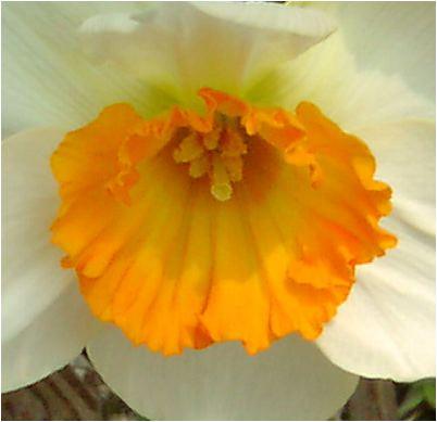 フラワー・レコード,Flower Record,スイセン
