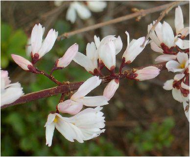 団扇の木の花