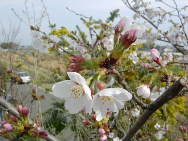 染井吉野桜(ソメイヨシノサクラ)