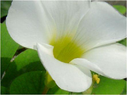 オキザリス(Oxalis :白)