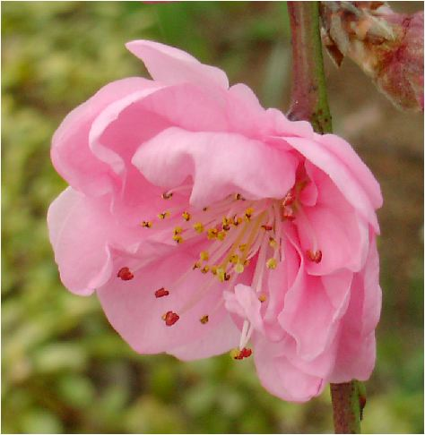 枝垂れ花桃(シダレハナモモ:ピンク)