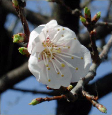 杏(アンズ)の花