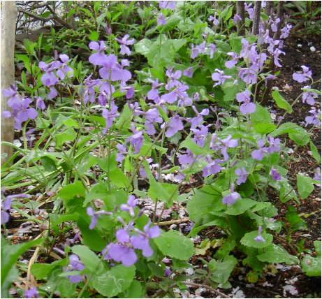 紫花菜(ムラサキハナナ)