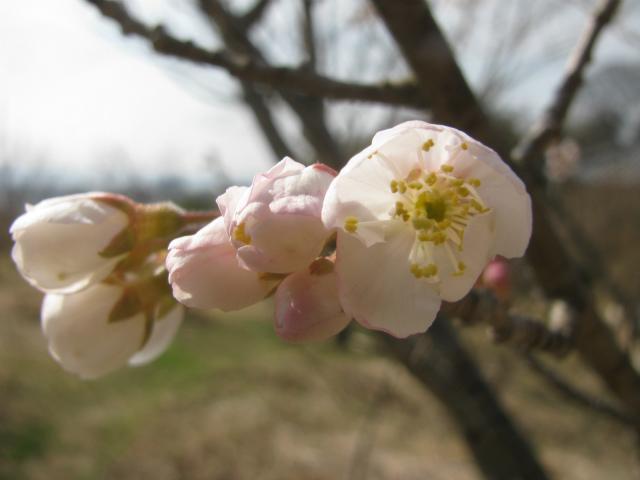 サクランボの木,実桜