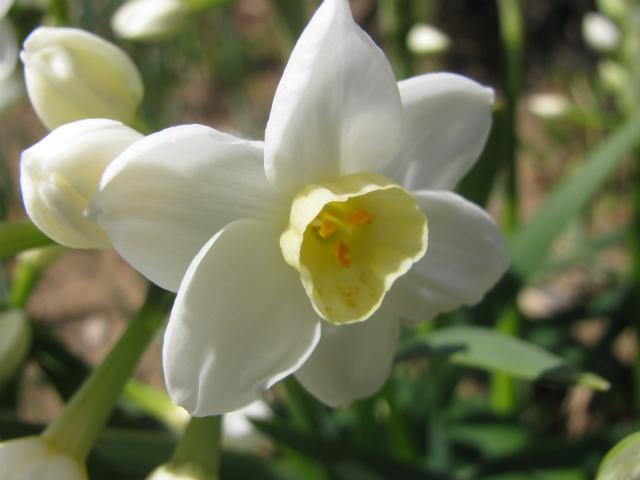 水仙,スイセン,ホワイトパール,White Pearl