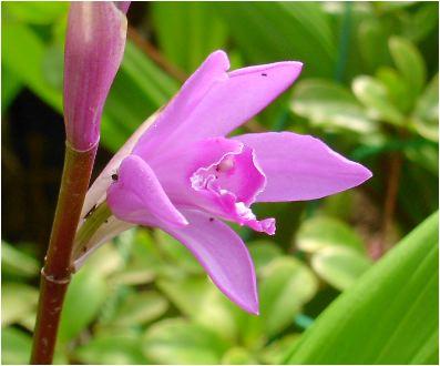 紫蘭(シラン)