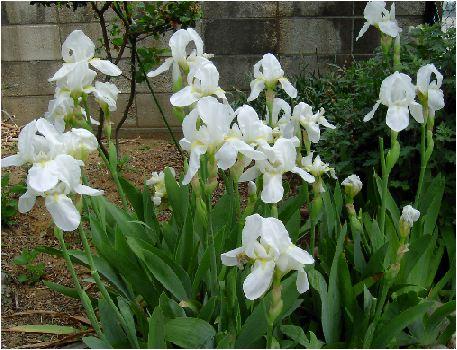 ニオイイリス(Iris florentina)