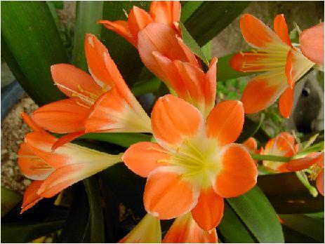 君子蘭(クンシラン)の花