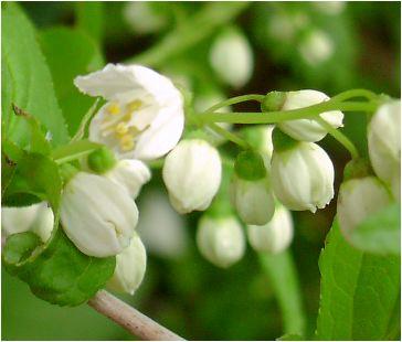 空木(ウツギ):卯の花(ウノハナ)