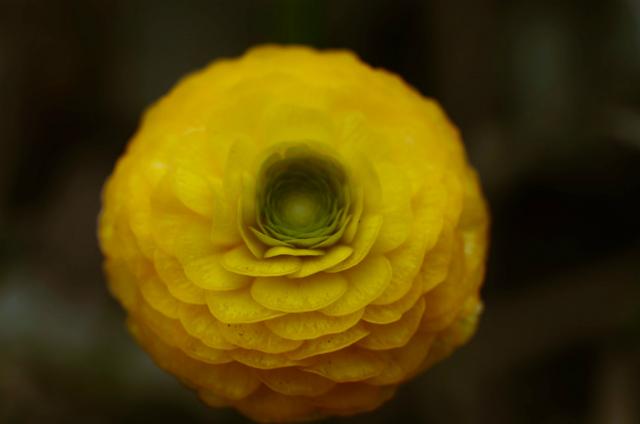 花金鳳花:ラナンキュラス・ゴールドコイン