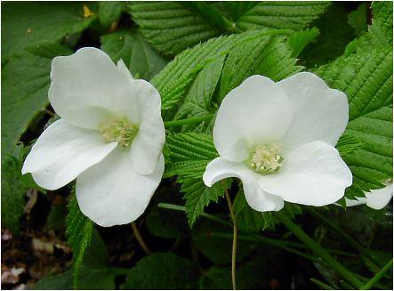 白山吹(シロヤマブキ)の花と実