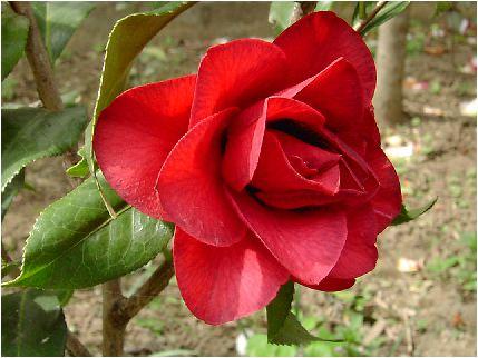 椿(赤い花)