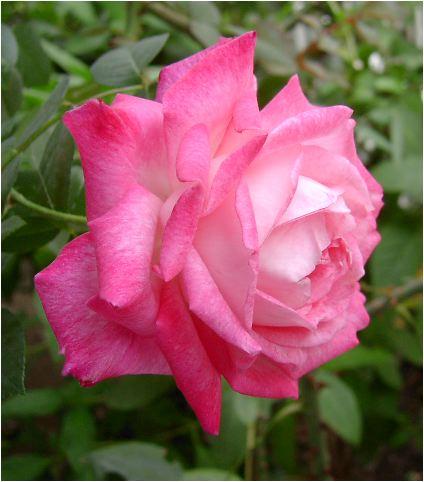 聖火(薔薇)