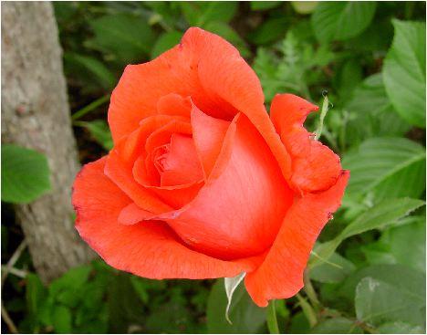 薔薇・バラ