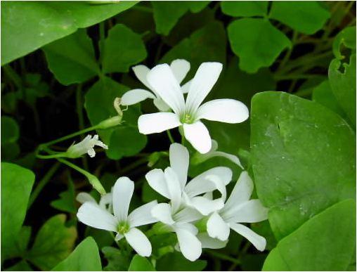 オキザリス(白)緑の舞