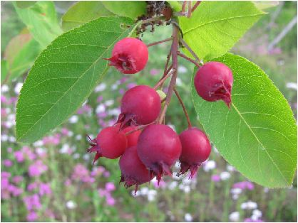 juneberry be in fruit