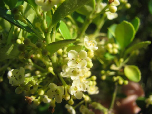 犬柘植(イヌツゲ)の花と実