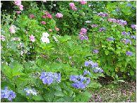 紫陽花の花壇