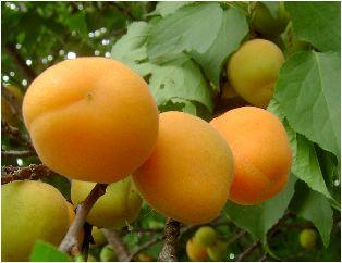杏の熟した実