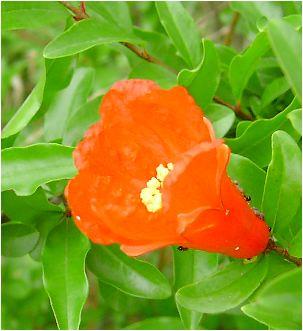 柘榴(ザクロ)の花