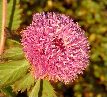 林檎薊(リンゴアザミ)
