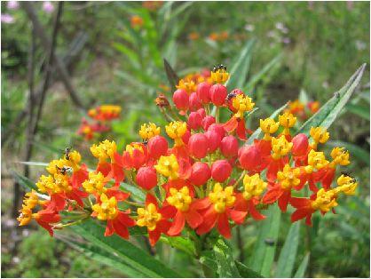 柳唐綿(ヤナギトウワタ)/宿根パンヤ /Aptenia cordifolia