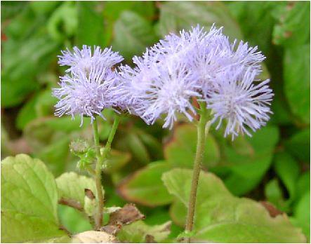 ユーパトリウム :紫
