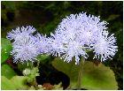 ユーパトリウム :紫(Eupatoriun)