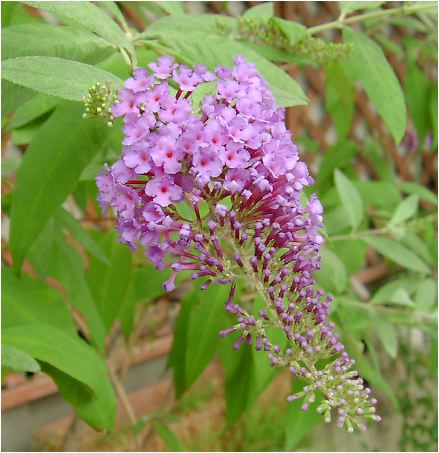 房藤空木(フサフジウツギ)/Aptenia cordifolia