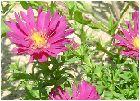 菊(キク)の花