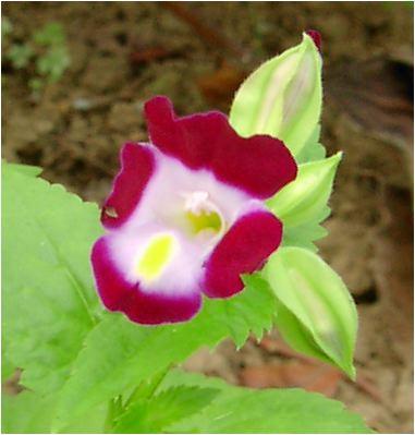 夏菫(ナツスミレ:Torenia fournieri)