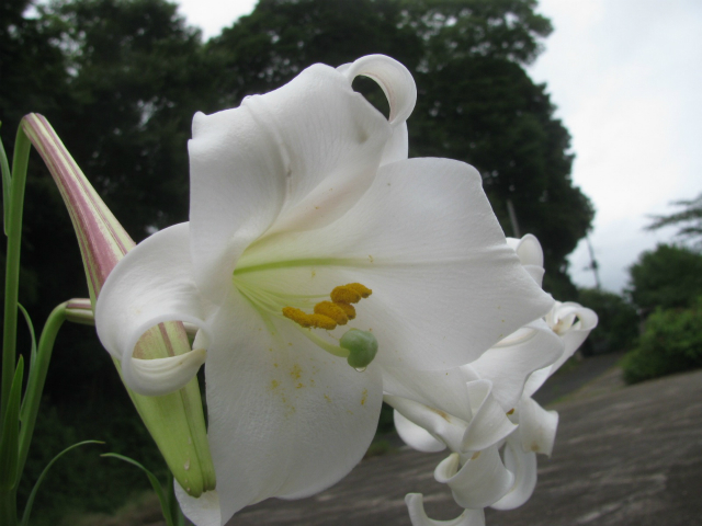 タカサゴユリ:Lilium formosanum Wallace)