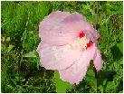 草芙蓉(クサフヨウ)の花