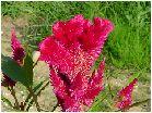 鶏頭(ケイトウ)の花