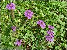 抱き葉荒地花笠(ダキバアレチハナガサ)の花