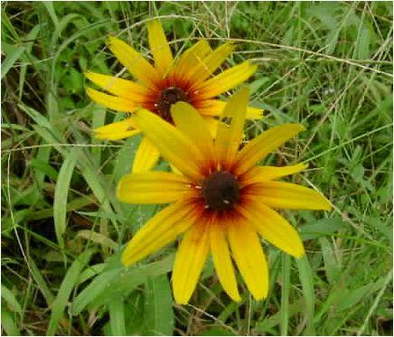 ルドベキア・ヒルタ(rudbeckia hirta )