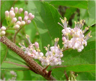 小紫(コムラサキ)の花