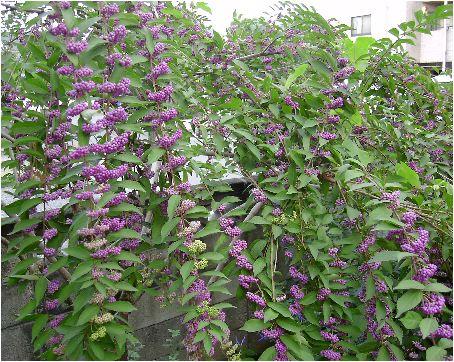 小紫(コムラサキ)の実