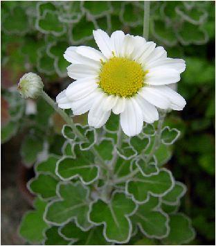 花磯菊(ハナイソギク)の花