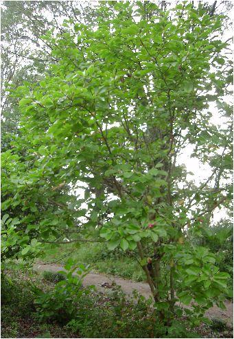 木蓮の木(モクレンノキ)